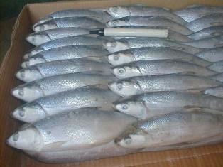 Buy Frozen milkfish