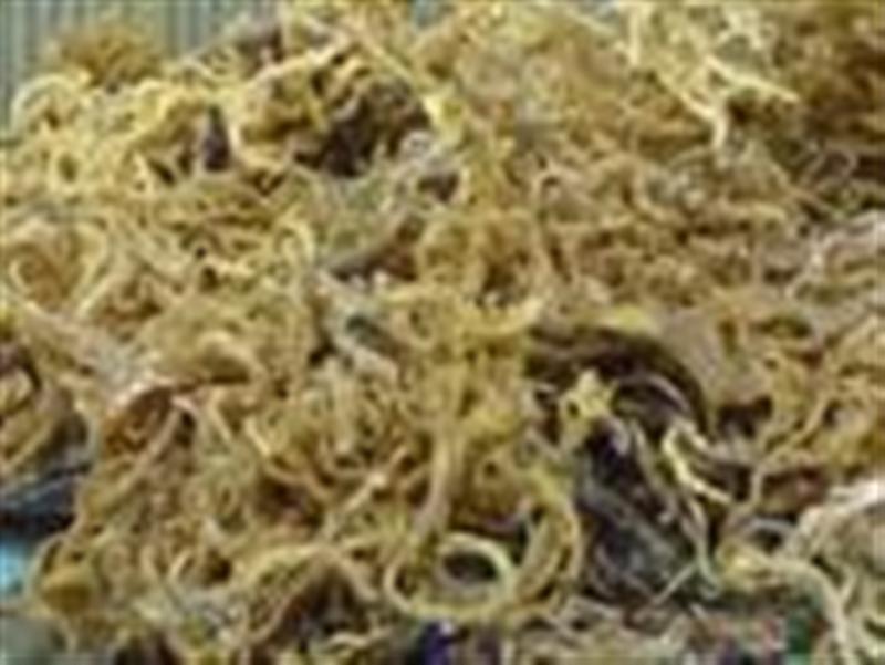 Buy Cottoni Bali, alga berwarna hijau green algae
