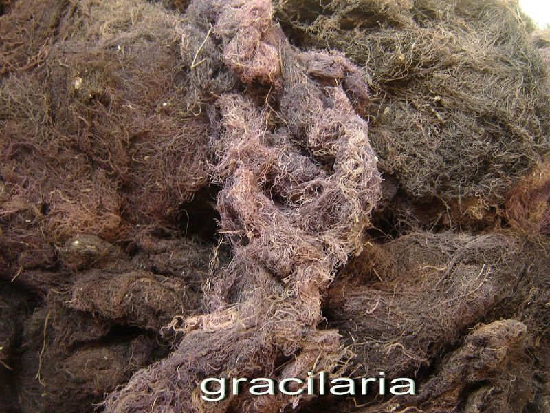 Buy Seaweed Gracilaria SP