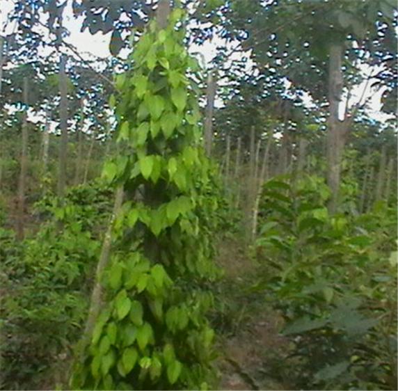 Buy Pepper Seeds