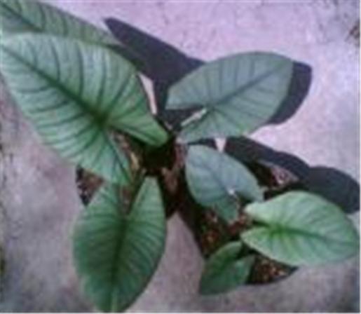 Buy Plants ornamental