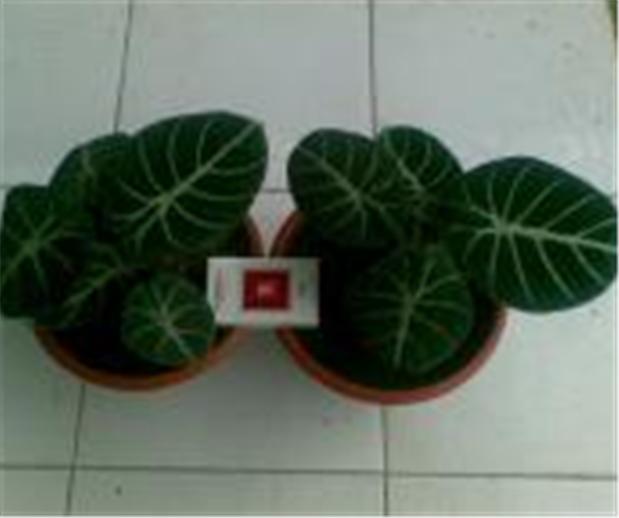Buy Plants medicinal