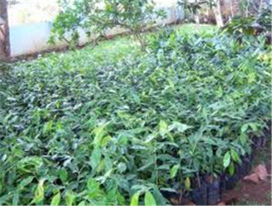 Buy Sandalwood seedlings