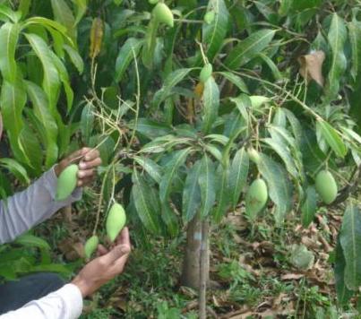 Buy Mango seedlings