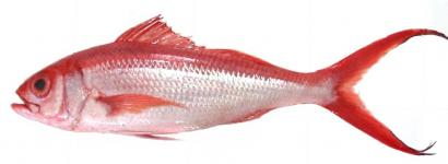 Buy Flame Snapper