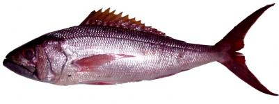 Buy King Snapper