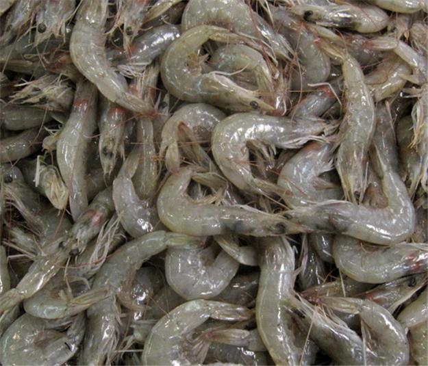 Buy White shrimp