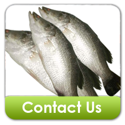 Buy Baramundi Fish