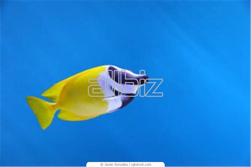 Buy Anthias Fish Range