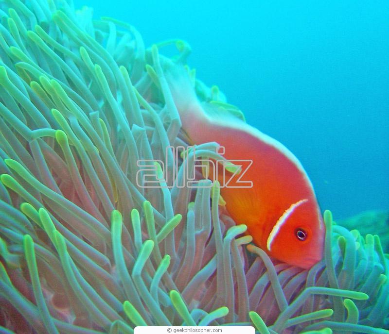 Buy Cardinal Fish Range