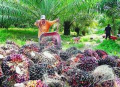 Palm Platations