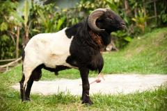 Aqiqah Domba dan Kambing KAFA