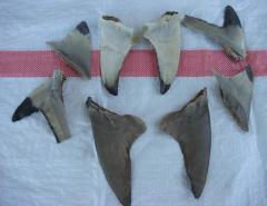 Dried Black Shark ,Sirip hiu hitam
