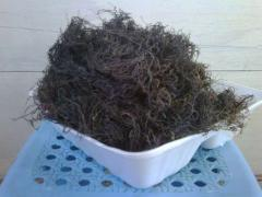 Gracilaria asal Palopo, brown algae
