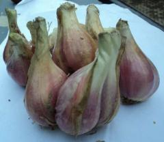Bawang Sumenep green onions