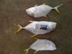 Fish Kue