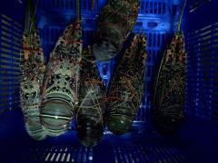 Lobster beku