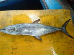 Mackerel fish intact and WGG