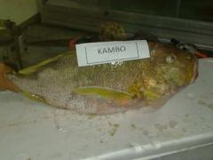 Fish kambo