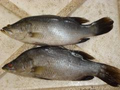 Fish barramundi