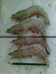 Shrimp Jerbung