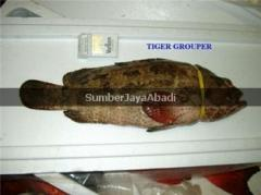 Tiger Grouper Fish