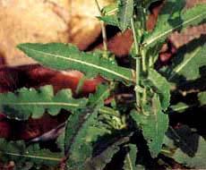 Sonchus arvensis