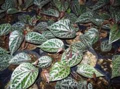 Peper crocatum