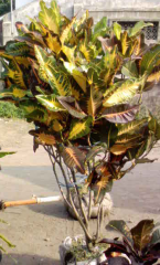 Croton Monalisa