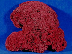 Red pipe organ coral