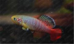 Rainbow Beauty killifish