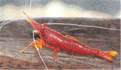 Ornamental Freshwater Shrimp