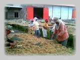 Dried Gracilaria by Fresh Water Washing