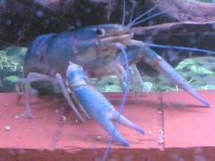 Lobster Aqua Pets