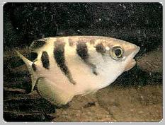 Archer Tropical Fish