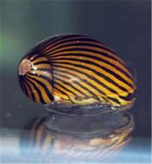 Snail Neritina