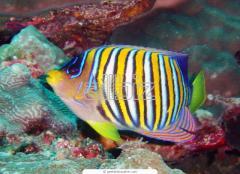 Danio Margaritatus Fish