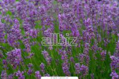 Phylannus Urinalialin Plant