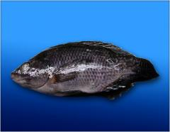 Tilapia Fish Products