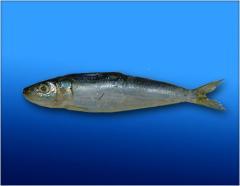 Sardines Fish Products
