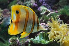 Butterfly Fish Selection