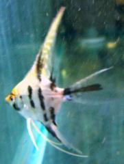 Anthias Coral Fish