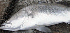 Barramundi Fish