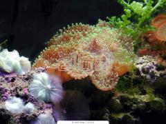 Black Coral Raw