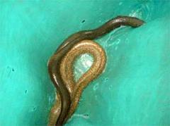 Kembang Eel Fish
