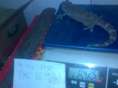 Big Gecko Alive