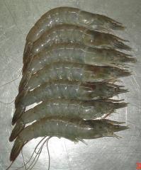 Shrimp Vannamei Pt. Kelola mina laut