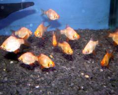 Golden Barb Cv. Indofishes farm