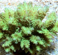 Cluster Acropora Katulistiwa Reef