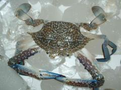 Blue swiming crab Diducrabs
